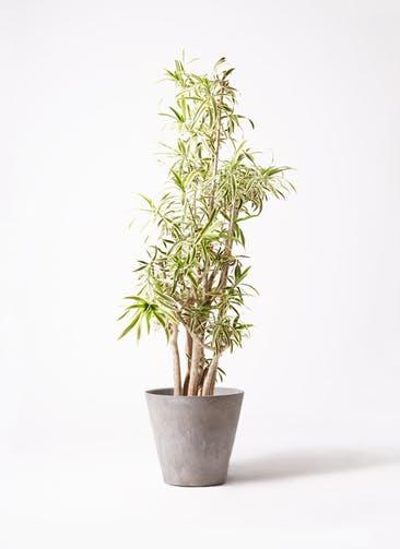 観葉植物 ドラセナ ソング オブ インディア 10号 アートストーン ラウンド グレー 付き