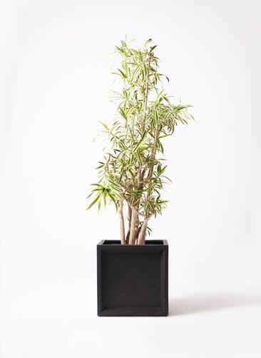 観葉植物 ドラセナ ソング オブ インディア 10号 ブリティッシュキューブ 付き