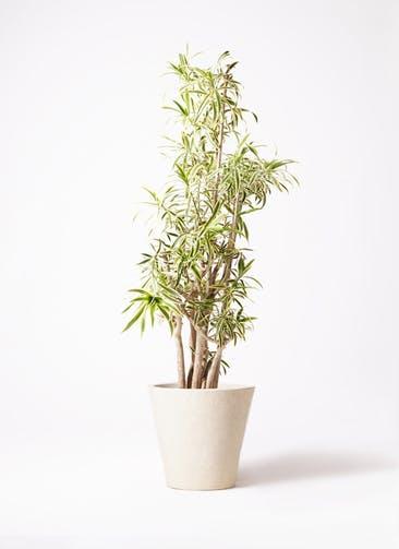観葉植物 ドラセナ ソング オブ インディア 10号 フォリオソリッド クリーム 付き