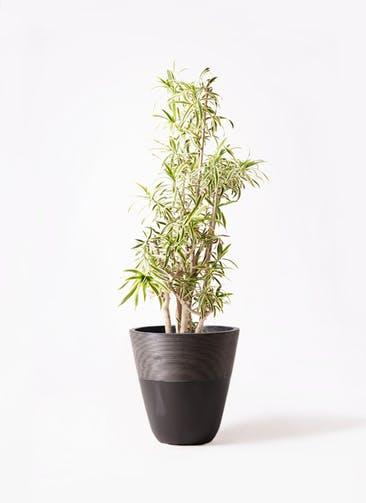 観葉植物 ドラセナ ソング オブ インディア 10号 ジュピター 黒 付き
