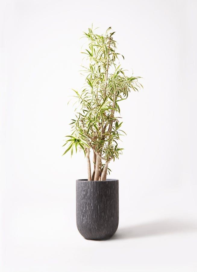 観葉植物 ドラセナ ソング オブ インディア 10号 カルディナトールダークグレイ 付き