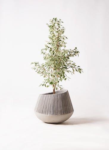 観葉植物 フィカス ベンジャミン 8号 スターライト エディラウンド グレイ 付き