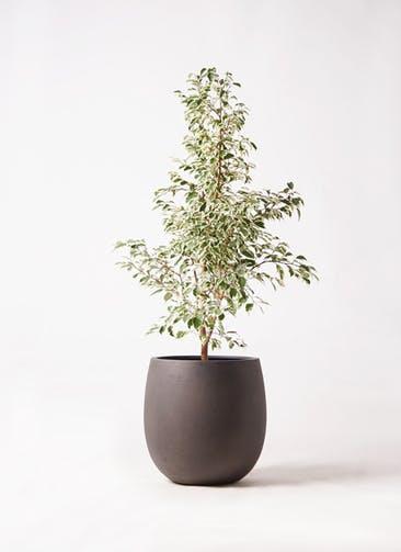 観葉植物 フィカス ベンジャミン 8号 スターライト テラニアス バルーン アンティークブラウン 付き