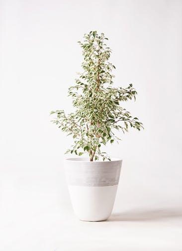 観葉植物 フィカス ベンジャミン 8号 スターライト ジュピター 白 付き