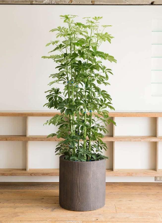 観葉植物 カポック(シェフレラ) 10号 ノーマル アルファシリンダープランター 付き