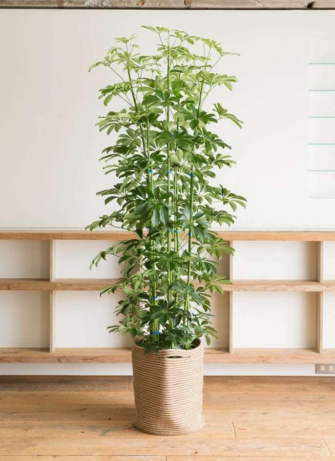 観葉植物 カポック(シェフレラ) 10号 ノーマル リブバスケットNatural 付き