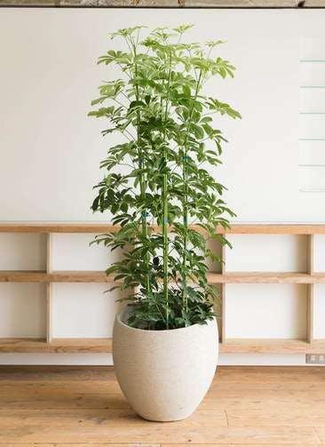 観葉植物 カポック(シェフレラ) 10号 ノーマル エコストーンLight Gray 付き