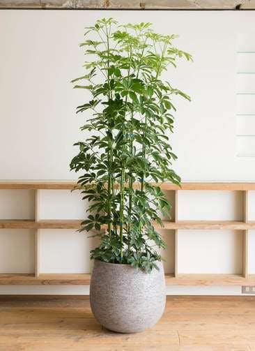 観葉植物 カポック(シェフレラ) 10号 ノーマル エコストーンGray 付き