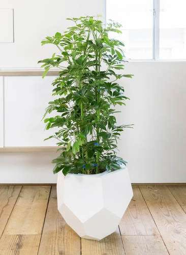 観葉植物 カポック(シェフレラ) 8号 ノーマル ポリゴヘクサ 白 付き