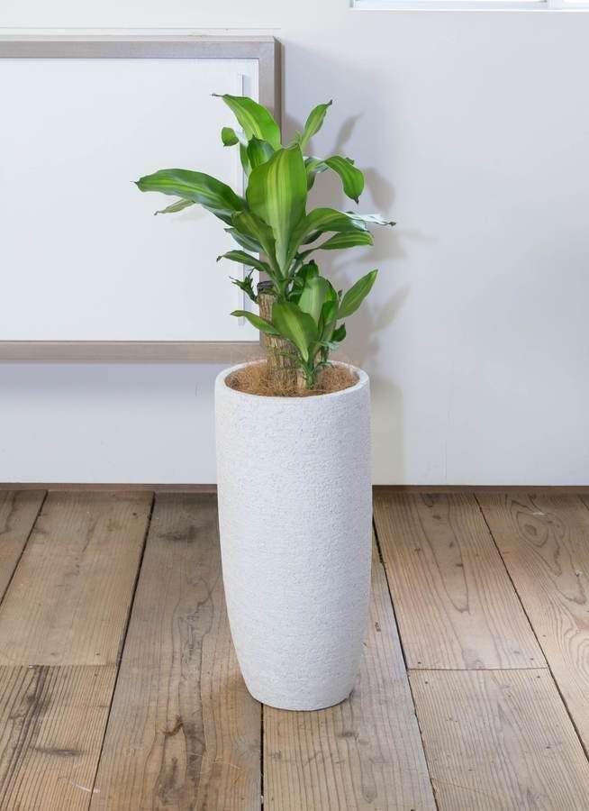 観葉植物 ドラセナ 幸福の木 6号 ノーマル エコストーントールタイプ white 付き