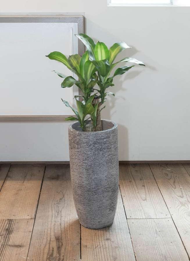観葉植物 ドラセナ 幸福の木 6号 ノーマル エコストーントールタイプ Gray 付き