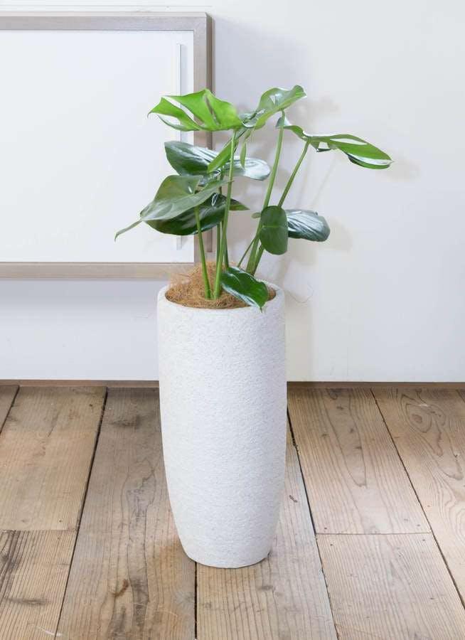 観葉植物 モンステラ 6号 ボサ造り エコストーントールタイプ white 付き