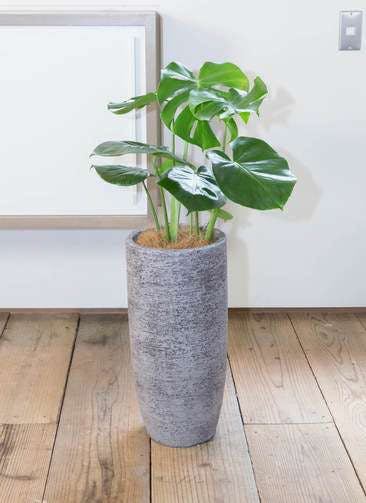 観葉植物 モンステラ 6号 ボサ造り エコストーントールタイプ Gray 付き