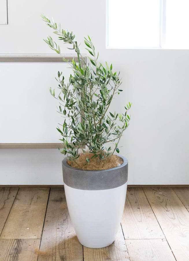 観葉植物 オリーブの木 8号 コロネイキ ファイバーストーンカプリ 白 付き