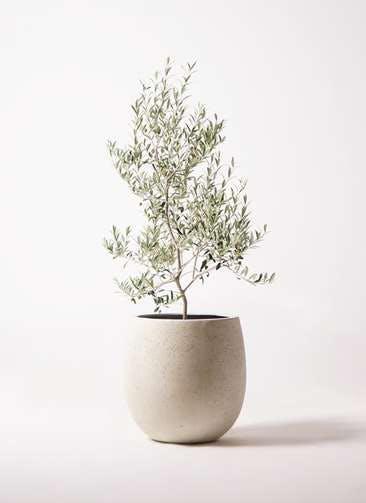 観葉植物 オリーブの木 8号 アルベキーナ テラニアス バルーン アンティークホワイト 付き
