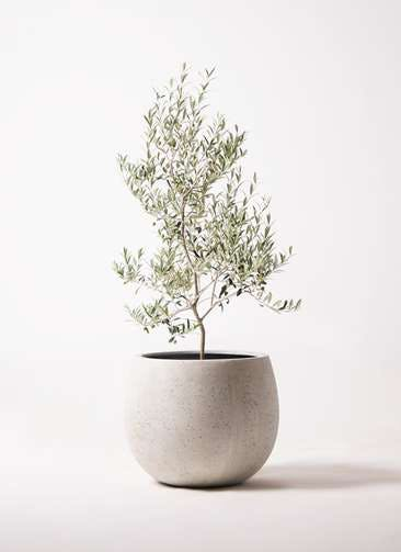 観葉植物 オリーブの木 8号 アルベキーナ テラニアス ローバルーン アンティークホワイト 付き