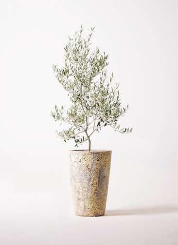 観葉植物 オリーブの木 8号 アルベキーナ アトランティス クルーシブル 付き