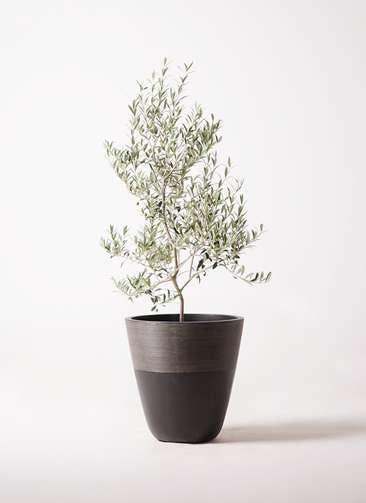 観葉植物 オリーブの木 8号 アルベキーナ ジュピター 黒 付き