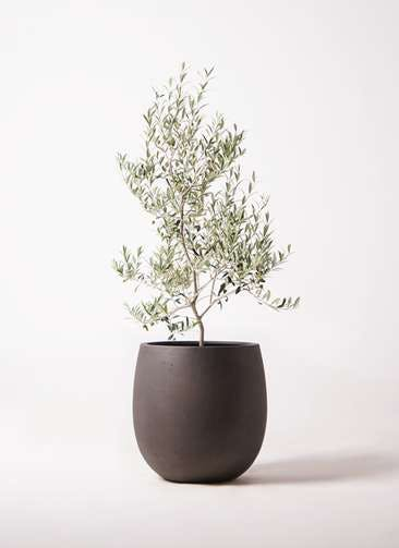 観葉植物 オリーブの木 8号 アルベキーナ テラニアス バルーン アンティークブラウン 付き