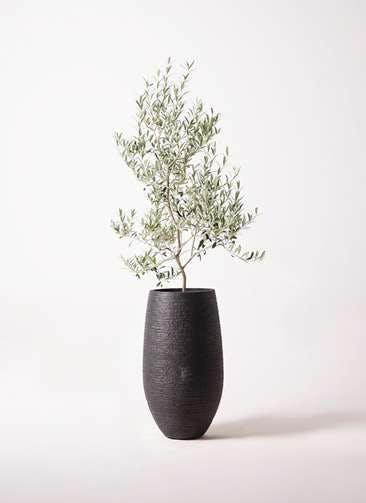 観葉植物 オリーブの木 8号 アルベキーナ フォンティーヌトール 黒 付き