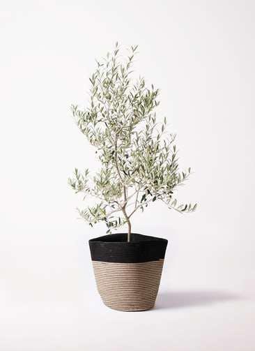 観葉植物 オリーブの木 8号 アルベキーナ リブバスケットNatural and Black 付き