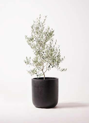 観葉植物 オリーブの木 8号 アルベキーナ エルバ 黒 付き