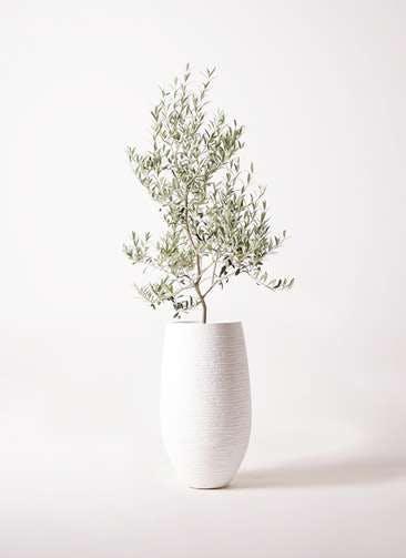 観葉植物 オリーブの木 8号 アルベキーナ フォンティーヌトール 白 付き