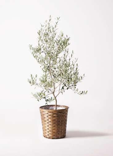 観葉植物 オリーブの木 8号 アルベキーナ 竹バスケット 付き