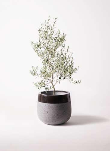 観葉植物 オリーブの木 8号 アルベキーナ ファイバーストーンタウルス 黒 付き