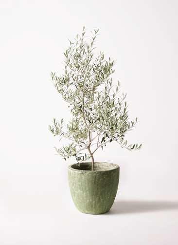 観葉植物 オリーブの木 8号 アルベキーナ アビスソニアミドル 緑 付き
