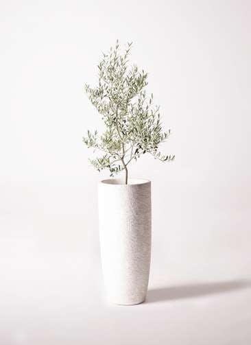 観葉植物 オリーブの木 8号 アルベキーナ エコストーントールタイプ white 付き
