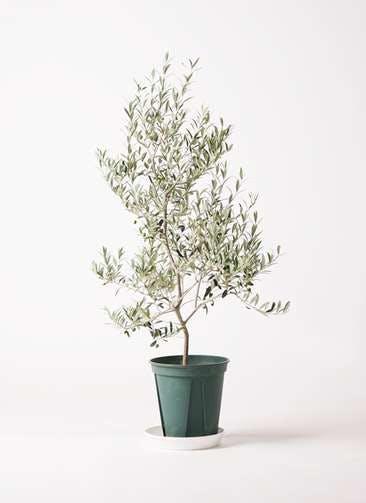 観葉植物 オリーブの木 8号 アルベキーナ プラスチック鉢