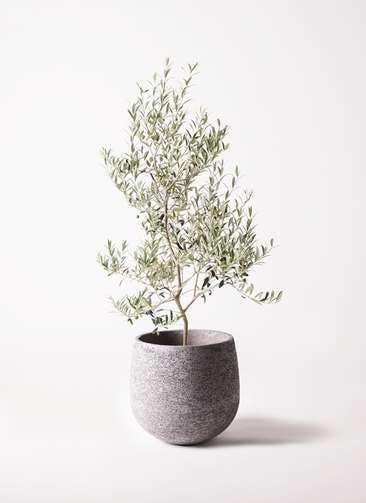 観葉植物 オリーブの木 8号 アルベキーナ エコストーンGray 付き