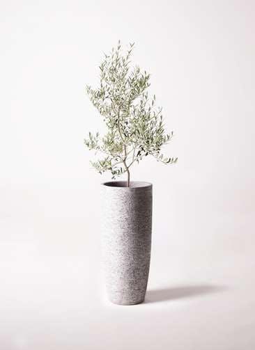 観葉植物 オリーブの木 8号 アルベキーナ エコストーントールタイプ Gray 付き