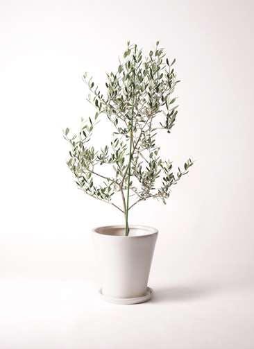 観葉植物 オリーブの木 8号 ルッカ サブリナ 白 付き