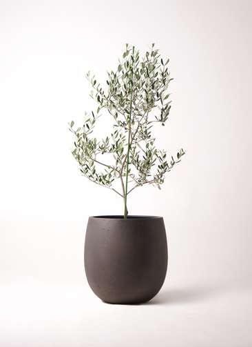 観葉植物 オリーブの木 8号 ルッカ テラニアス バルーン アンティークブラウン 付き