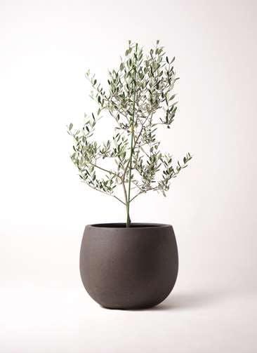 観葉植物 オリーブの木 8号 ルッカ テラニアス ローバルーン アンティークブラウン 付き