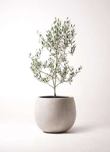 観葉植物 オリーブの木 8号 ルッカ テラニアス ローバルーン アンティークホワイト 付き