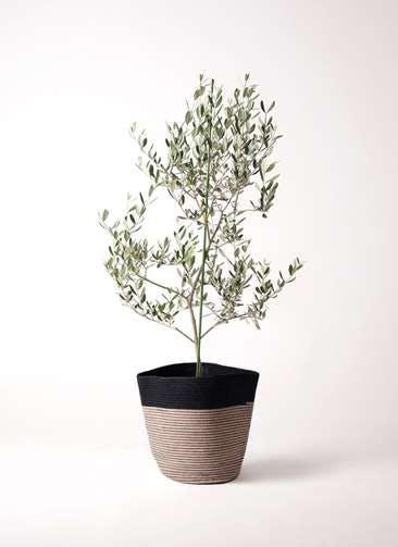 観葉植物 オリーブの木 8号 ルッカ リブバスケットNatural and Black 付き
