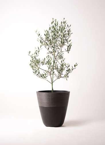 観葉植物 オリーブの木 8号 ルッカ ジュピター 黒 付き