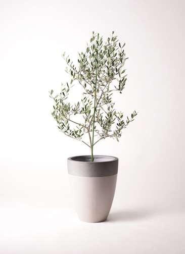 観葉植物 オリーブの木 8号 ルッカ ファイバーストーンカプリ サンディホワイト 付き