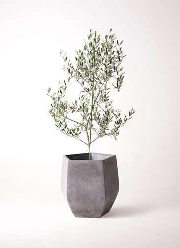 観葉植物 オリーブの木 8号 ルッカ ファイバークレイ Gray 付き