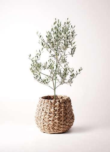 観葉植物 オリーブの木 8号 ルッカ ラッシュバスケット Natural 付き