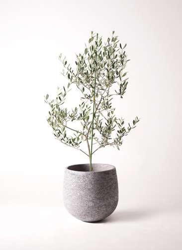 観葉植物 オリーブの木 8号 ルッカ エコストーンGray 付き