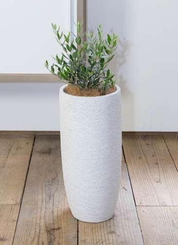 観葉植物 オリーブの木 6号 コロネイキ エコストーントールタイプ white 付き