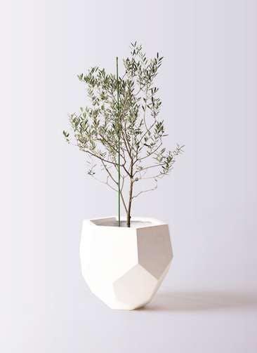 観葉植物 オリーブの木 8号 カリフォルニアクイーン ポリゴヘクサ 白 付き