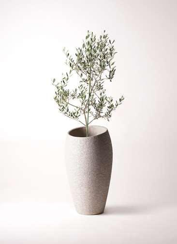 観葉植物 オリーブの木 8号 ルッカ エコストーントールタイプ Light Gray 付き