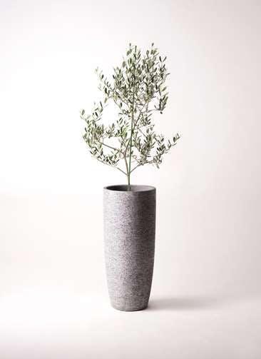 観葉植物 オリーブの木 8号 ルッカ エコストーントールタイプ Gray 付き