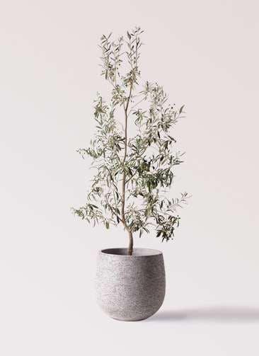 観葉植物 オリーブの木 10号 ワンセブンセブン エコストーンGray 付き