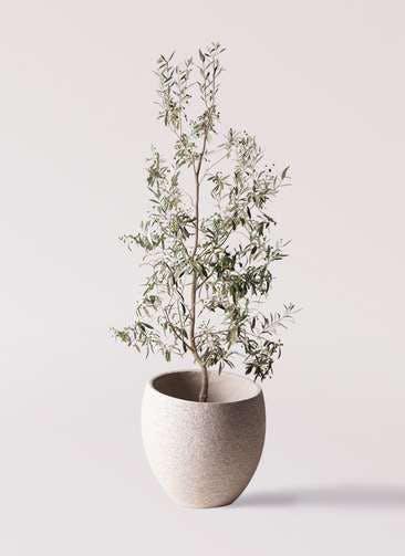観葉植物 オリーブの木 10号 ワンセブンセブン エコストーンLight Gray 付き
